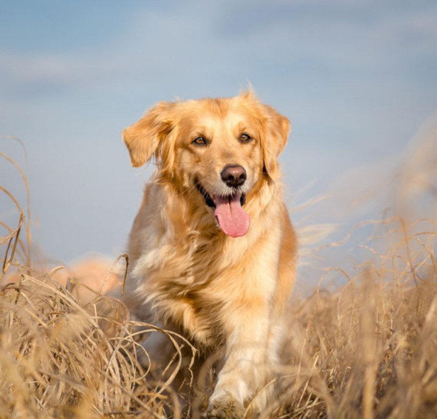 golden retriever for sale singapore