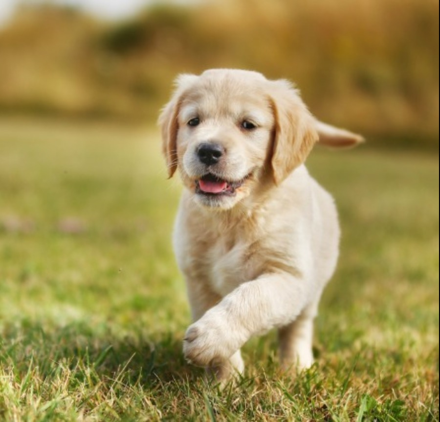 Largest Variety & Best Quality Puppies For Sale 2019 ...