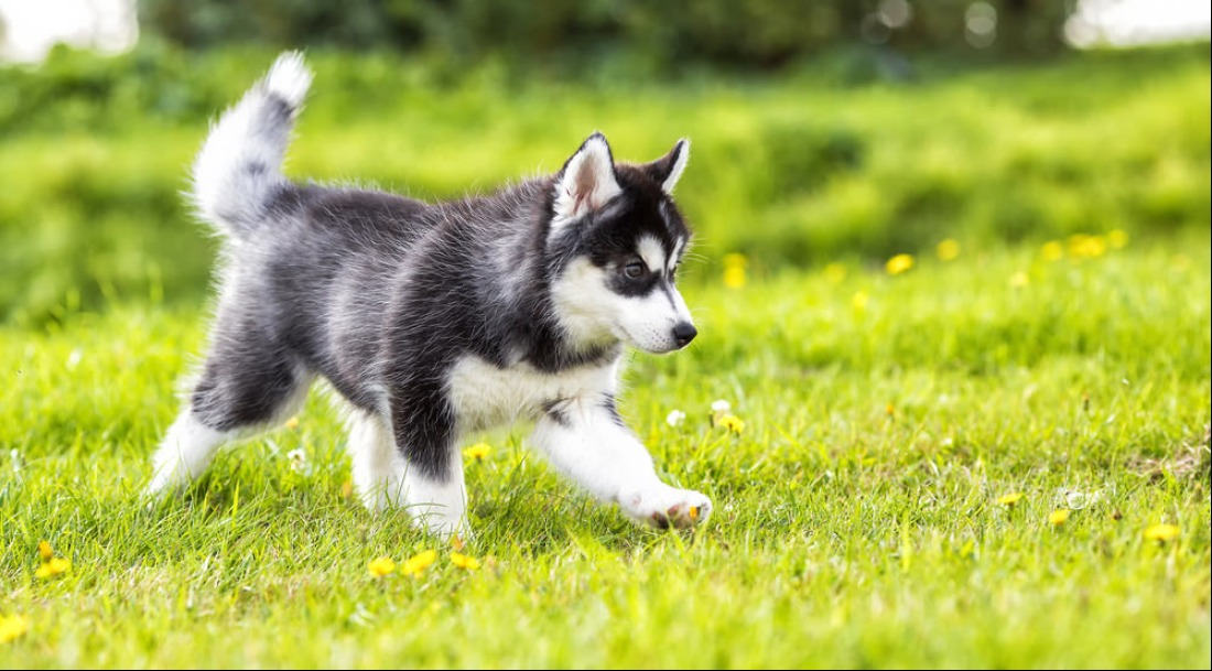 best quality siberian husky puppies for sale singapore