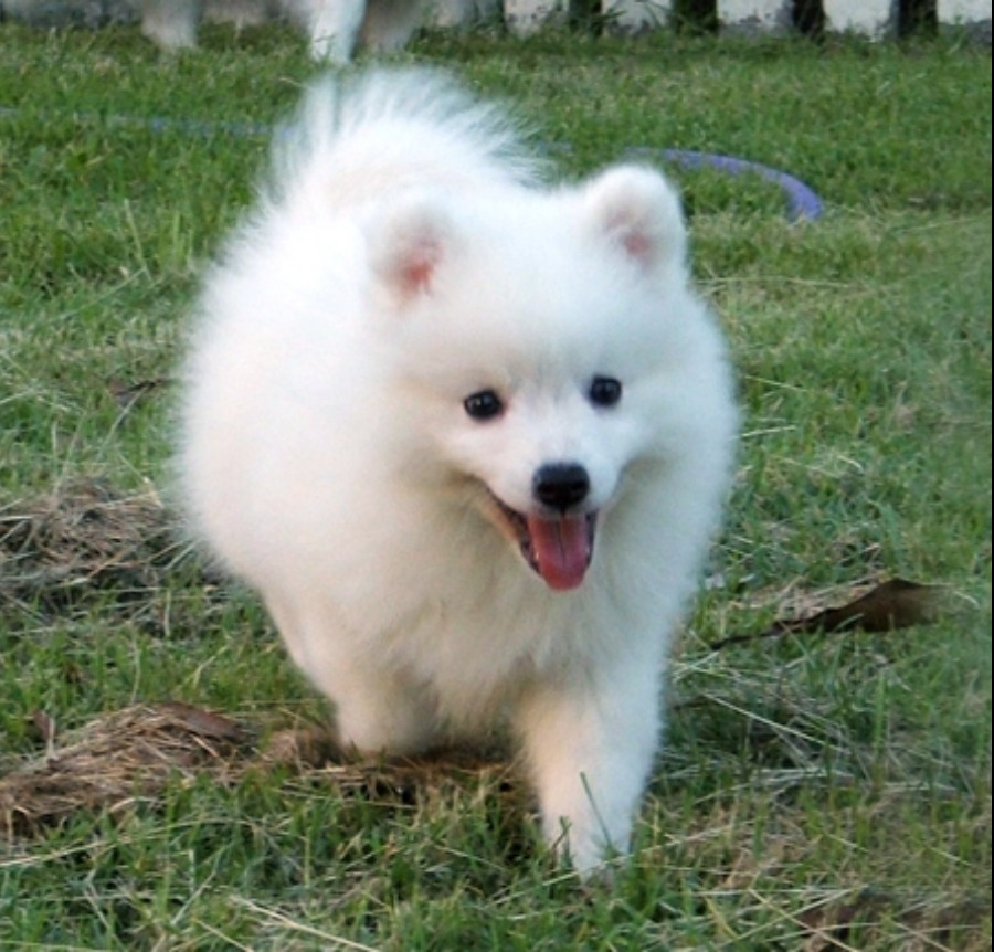 japanese spitz for sale singapore