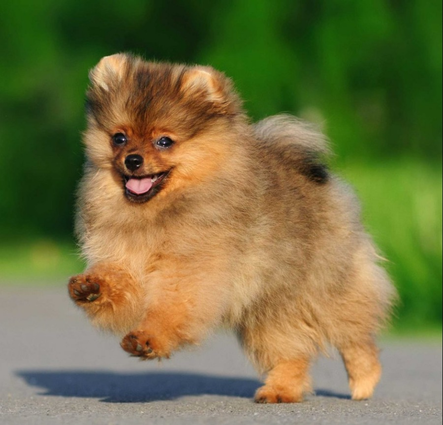 Best Quality Pomeranian Puppies For Sale In Singapore January 2019