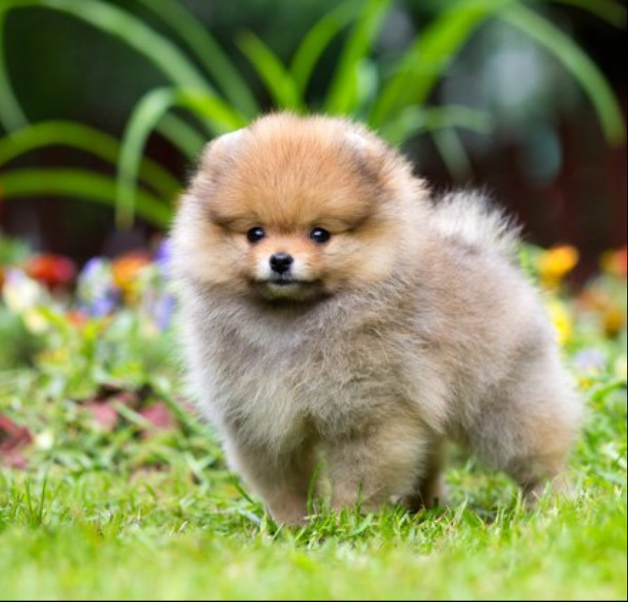 pomeranian puppy for sale singapore