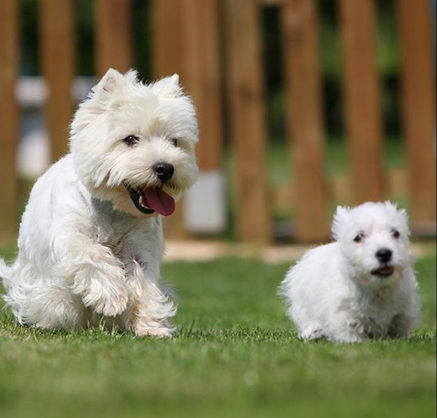 west highland terrier singapore