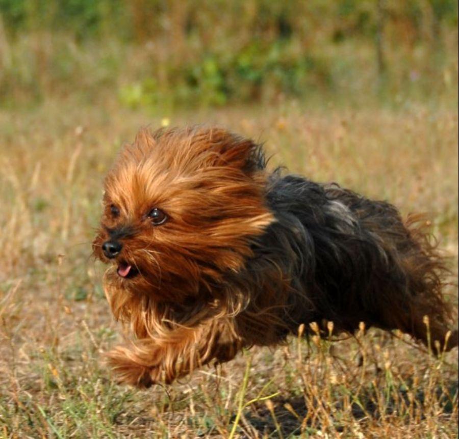 yorkshire dog