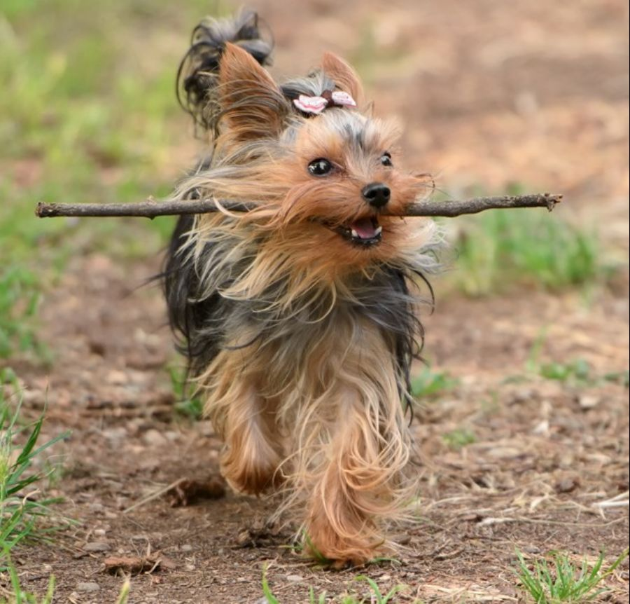 yorkshire terrier for sale singapore