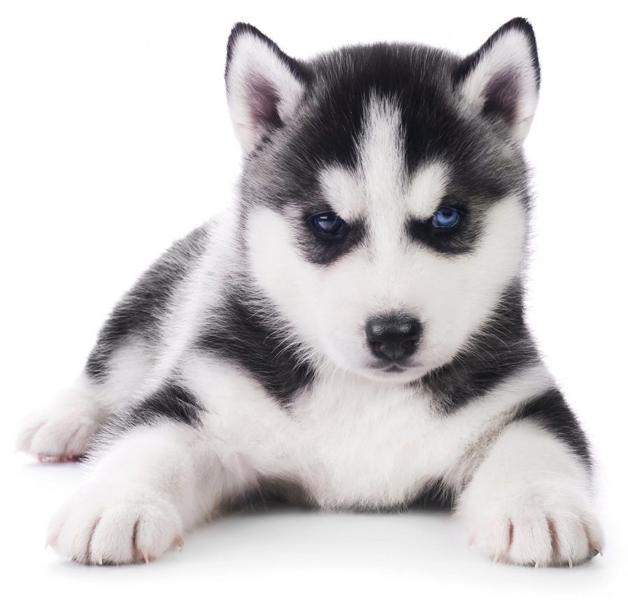 Husky Dogs For Sale Albuquerque