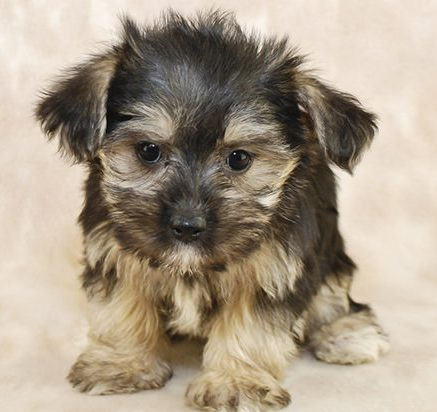 morkie for sale