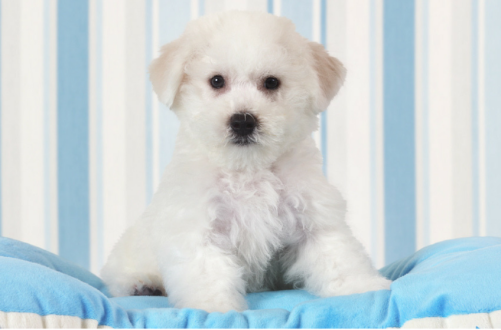 bichon puppies for sale Singapore