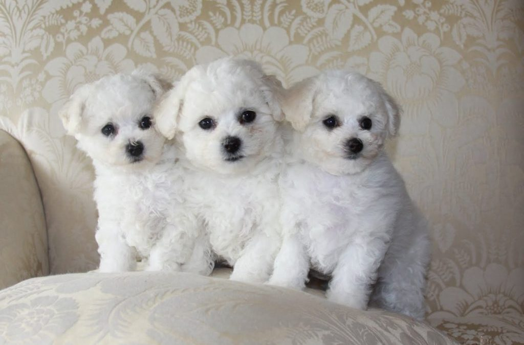 bichons for sale Singapore
