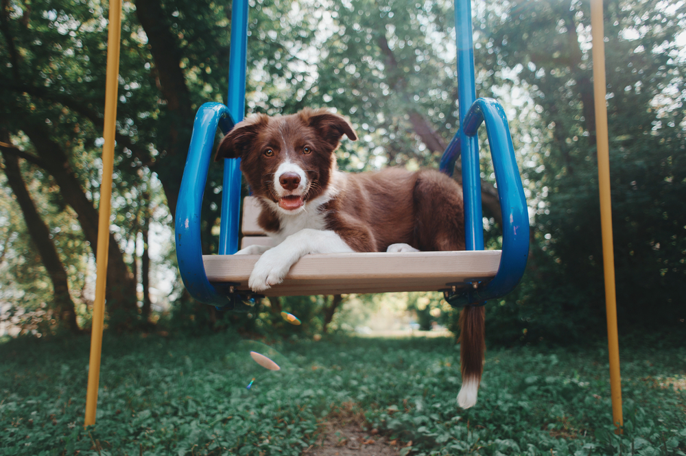 Border collie puppies for sale singapore