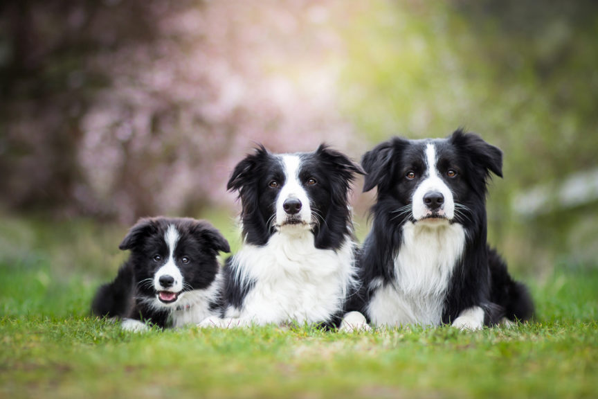 Border collie puppies singapore