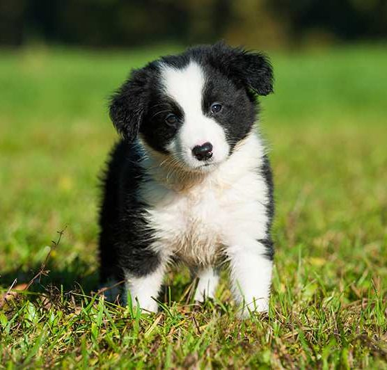 border collie for sale singapore