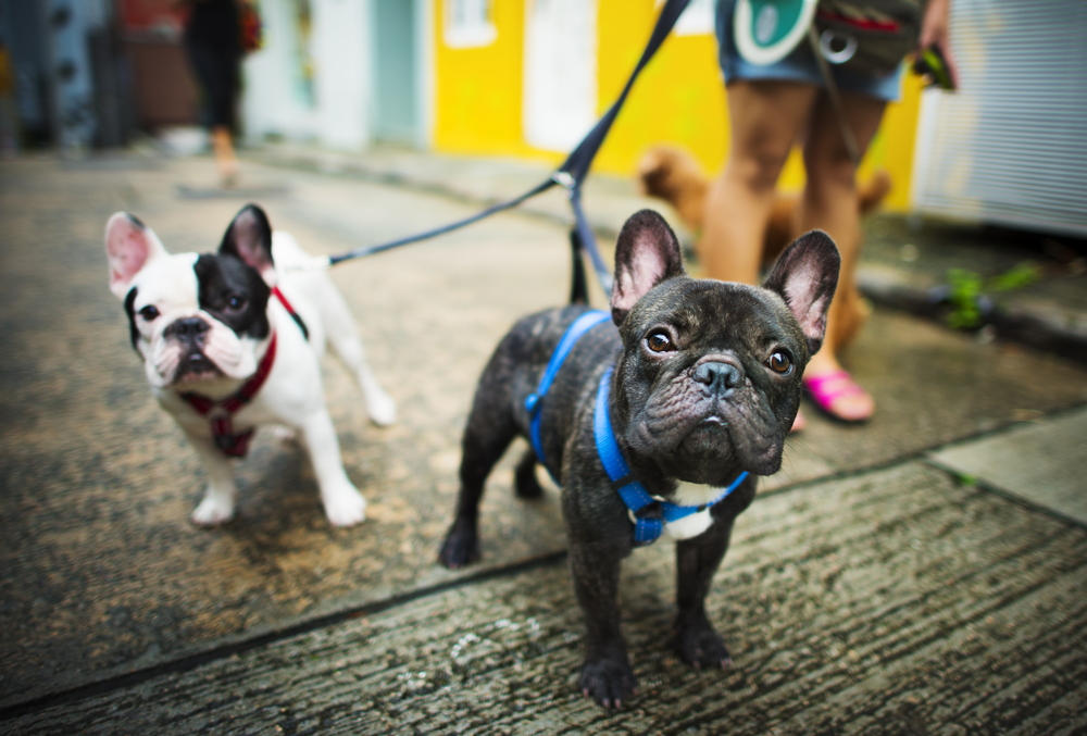 French Bulldogs Singapore
