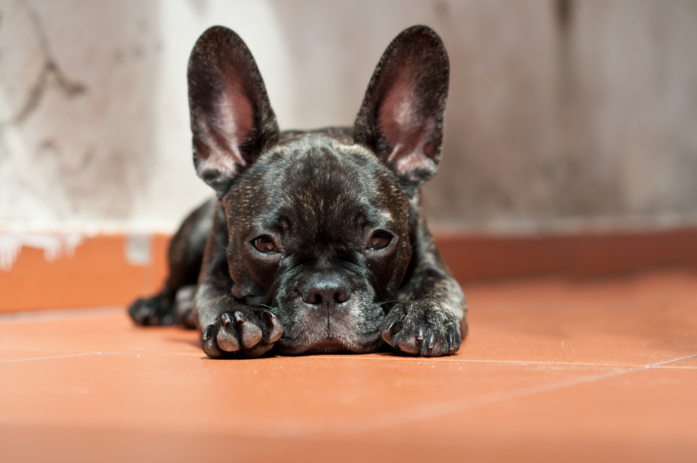 frenchie puppies for sale Singapore