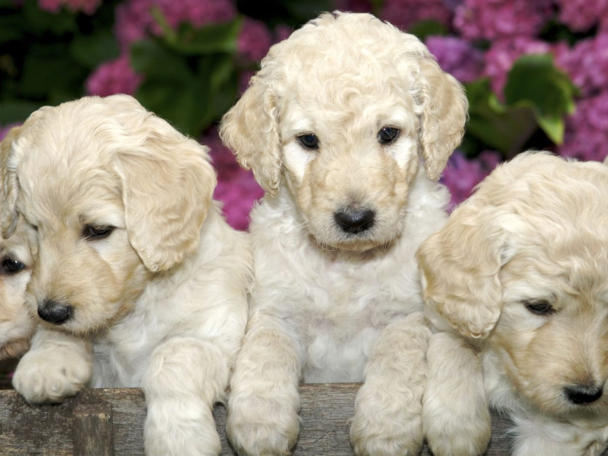 labradoodle puppies singapore