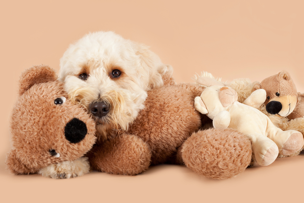 labradoodle puppies for sale singapore
