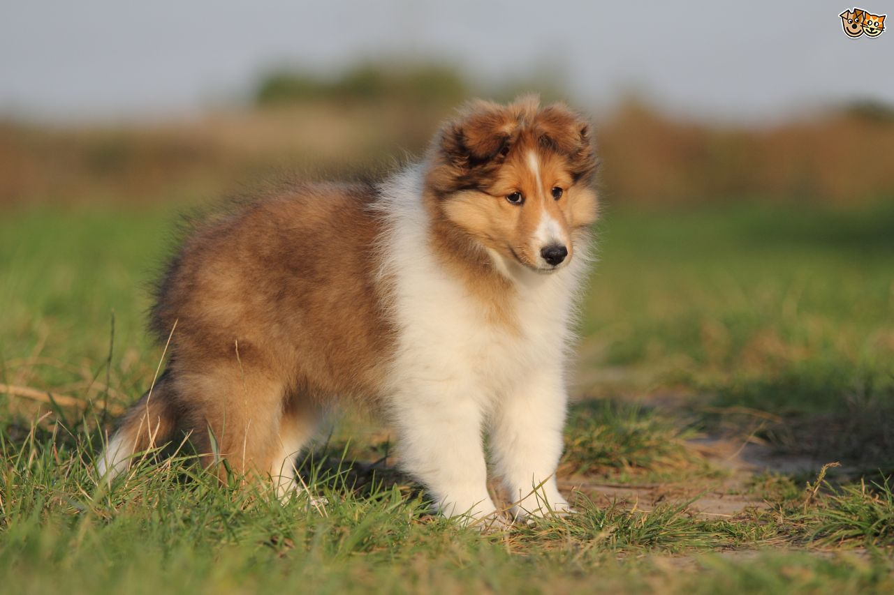 shetland puppies for sale