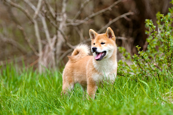 shiba puppies for sale singapore