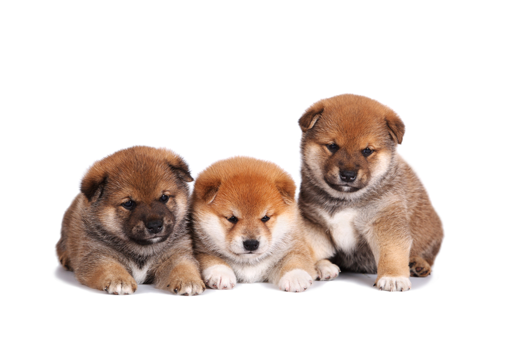 Best Quality Shiba Inu Puppies For Sale In Singapore June