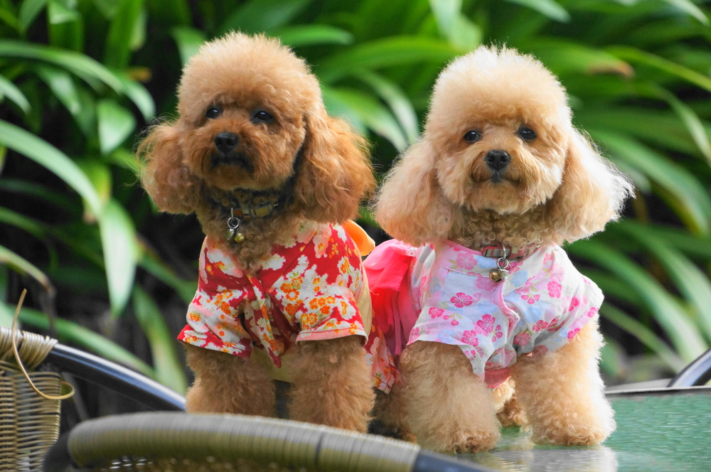 toy poodle for sale singapore