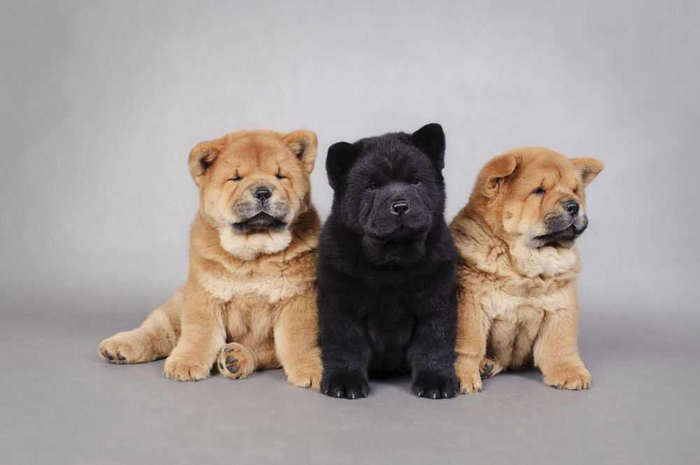 Miniature Chow Puppies For