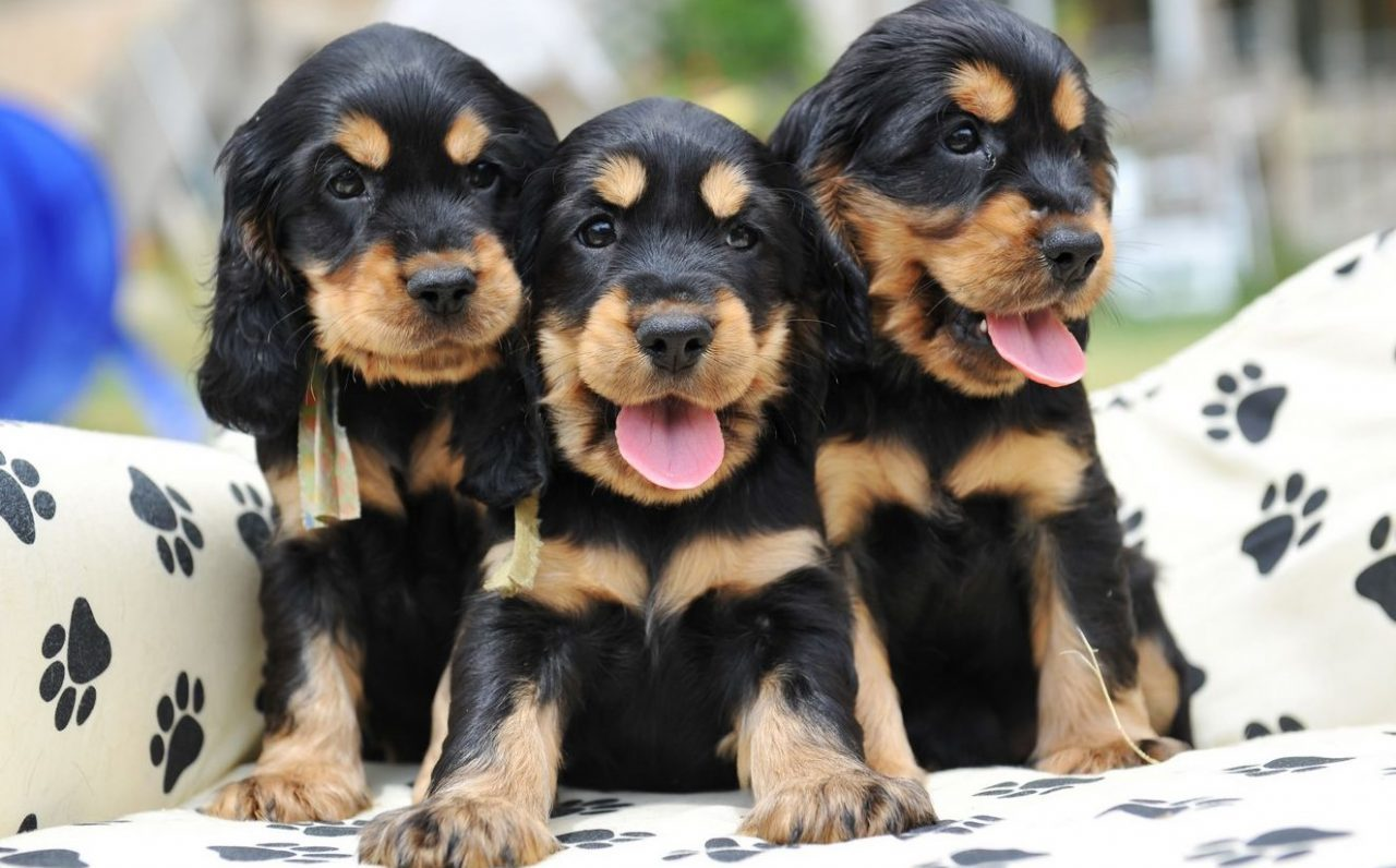 cockers puppies for sale Singapore