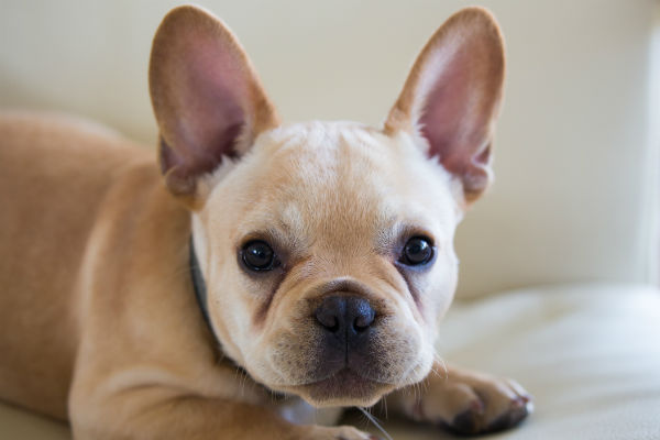 French Bulldog for sale Singapore