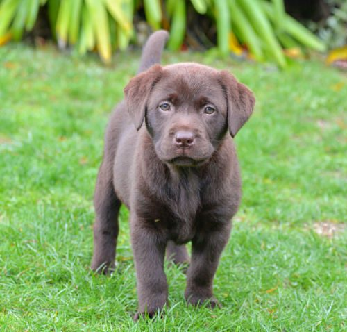 lab puppies for sale singapore