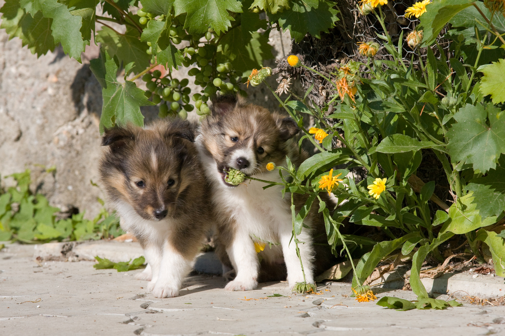 shetland puppies for sale Singapore