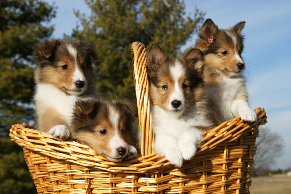 shetland sheepdog for sale Singapore