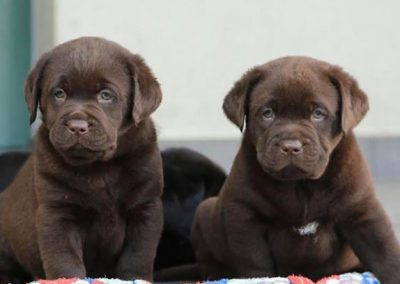 Best Quality Labrador Puppies for Sale In Singapore (August