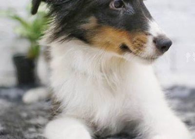 Shetland Sheepdog 3