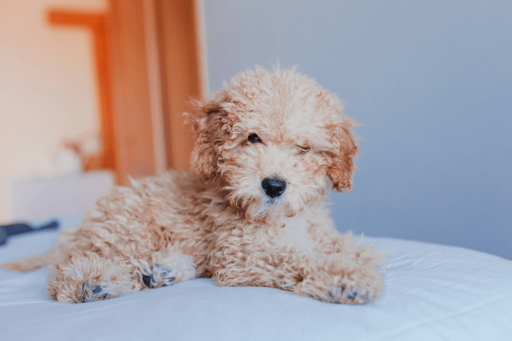 Toy Poodle - Puppy Singapore