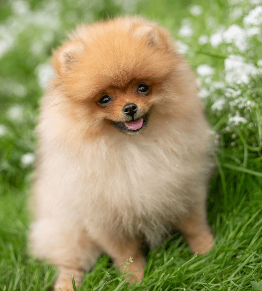 Best Quality Pomeranian Puppies for Sale In Singapore