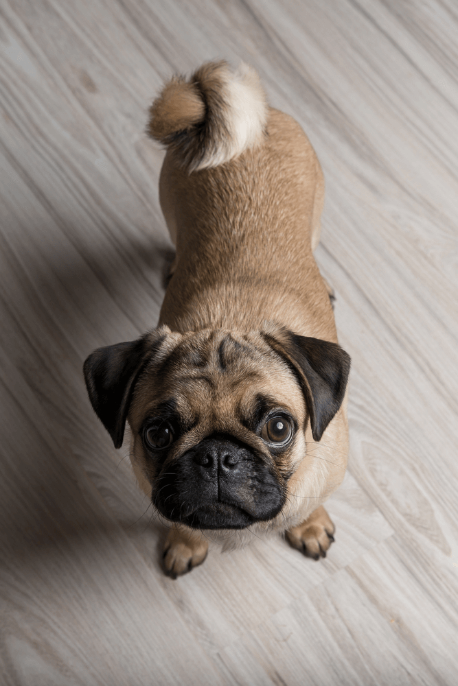 Best Quality Pug Puppy for Sale Singapore (September 2019)