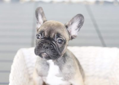 Best Quality French Bulldog Puppies For Sale Singapore