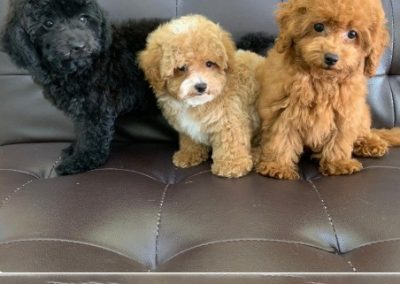 Toy Poodle 7