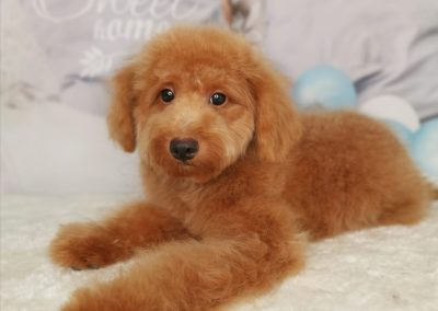 Toy Poodle 8