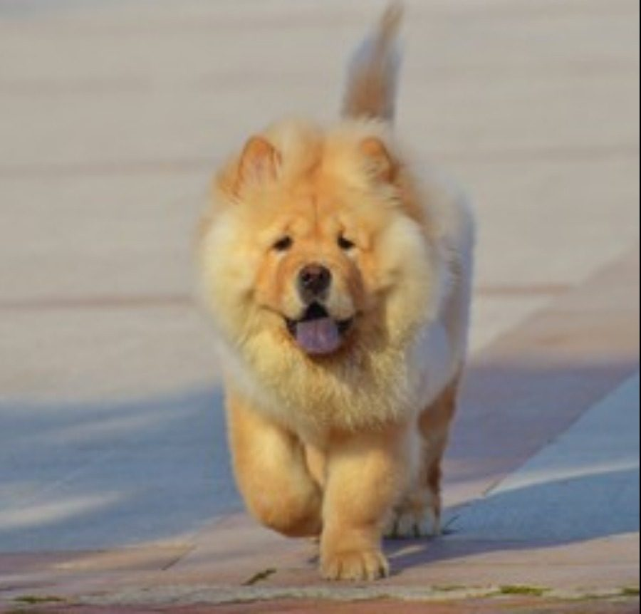 chow chow for sale singapore