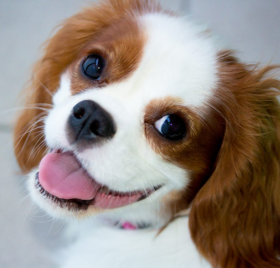cavalier king charles for sale singapore