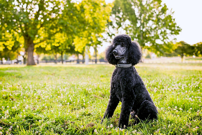 standard poodle puppies for sale singapore