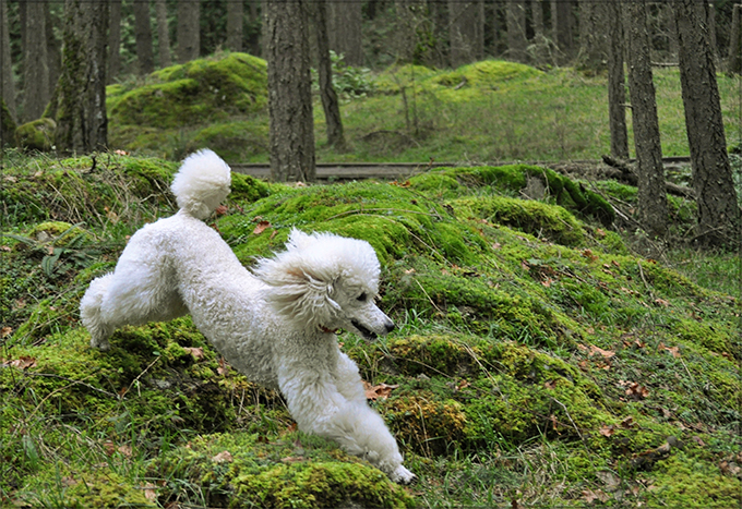 standard poodle for sale singapore