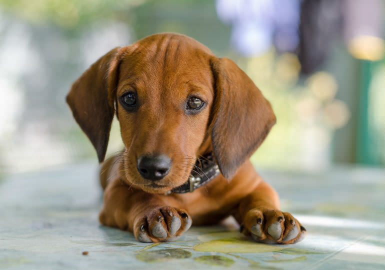 Dachshund Puppies For In Singapore
