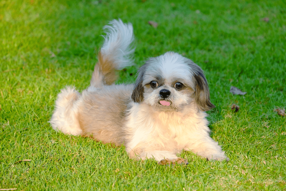 Best Quality Shih Tzu Puppies For Sale In Singapore March 2020