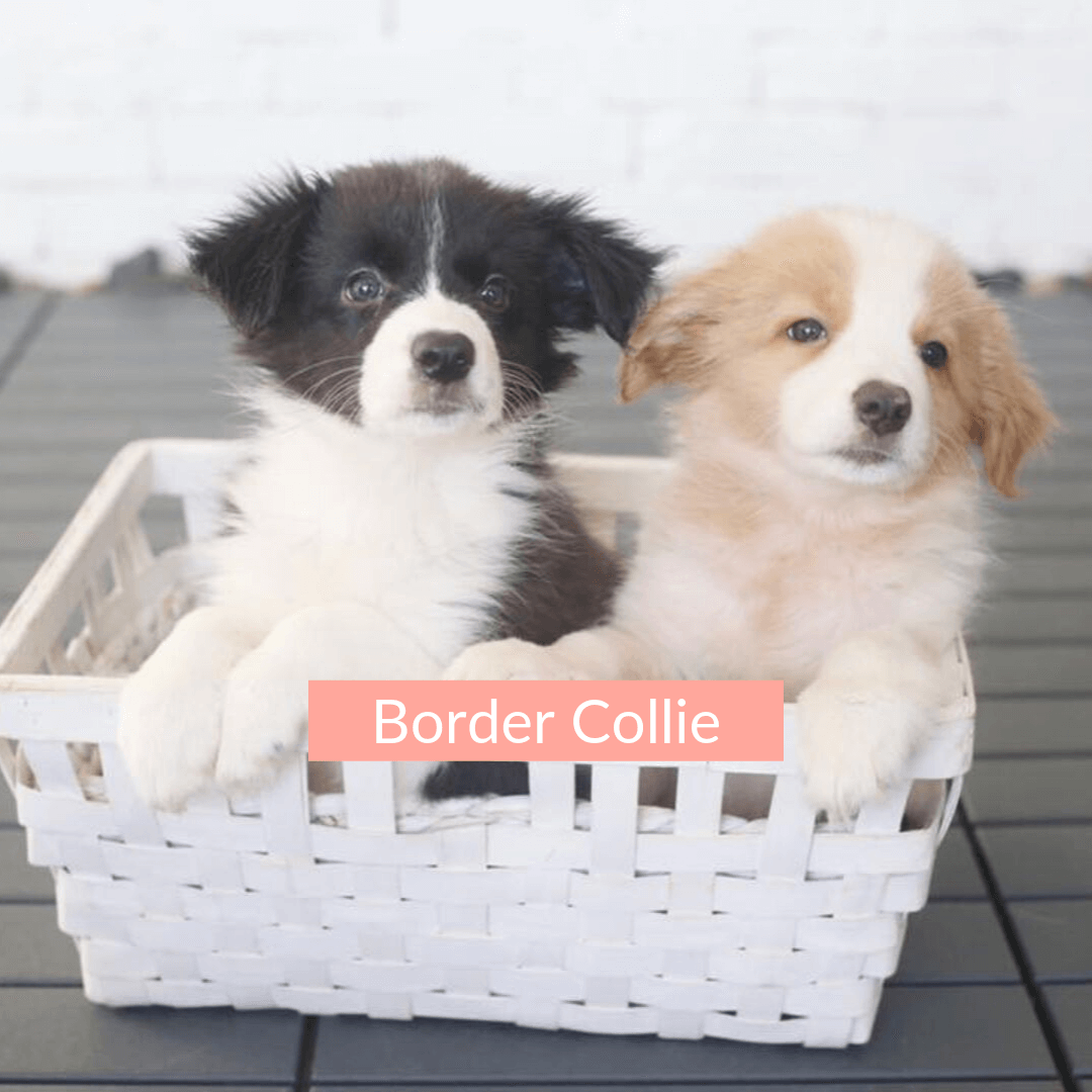 Best Quality Border Collie Puppies For