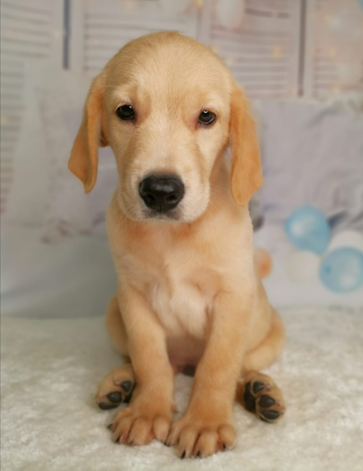 Best Quality Golden Retriever Puppies for Sale In Singapore