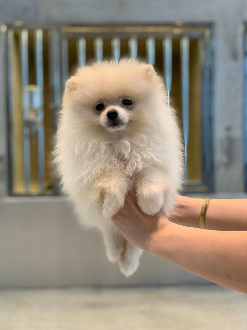 Best Quality Pomeranian Puppies For Sale In Singapore December 2020